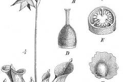 dibujo-cientifico-planta-carnivora