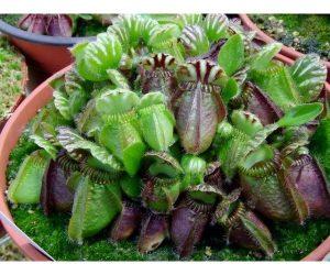 Cephalotus Follicularis es una planta planta carnívora muy especial por sus trampas