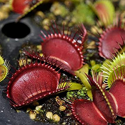 Dionaea muscipula red dragon