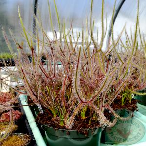 Descubre toda la información sobre la Drosera Binata y cómo cultivarla