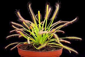 información sobre la planta carnívora drosera capensis