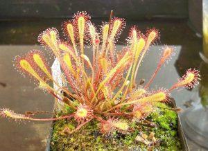 Toda la información sobre la Drosera Nidiformis y como cultivarla