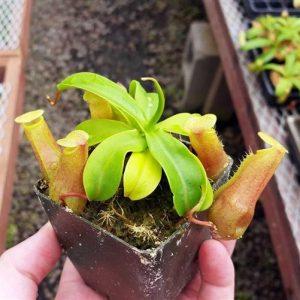 Planta carnívora de especie Nepenthes