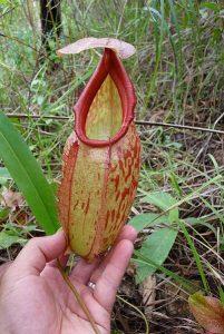 Informacion sobre la Nepenthes holdenii y su cultivo y cuidados