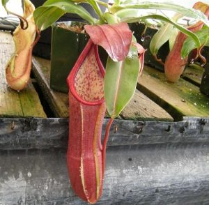 Información, descripción y cultivo de la nephentes sanguinea
