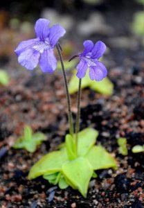Las flores de la pinguicula pueden ser violetas, blancas o rosadas
