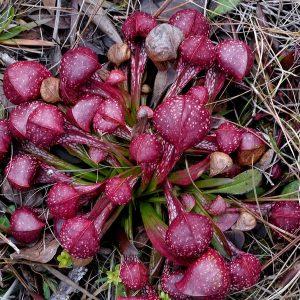 Sarracenia psittacina una Sarracenia que destaca por su vivo color morado