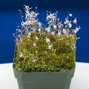 Información sobre los cuidados básicos de la Utricularia sandersonii