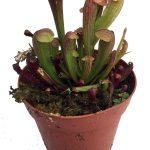 semilla carracenia de color rojizo